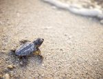 200 Baby Turtles Born at Banyan Tree Samui